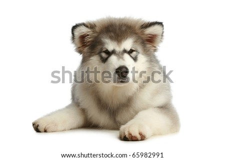 Malamute puppy (3 months) on a white background - stock photo