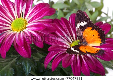 Malay Lacewing Butterfly (Cethosia hypsea hypsina) on Red Mum