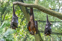 Malayan flying fox (Pteropus vampyrus) is hanging on the tree. a southeast Asian species of megabat, primarily feeds on flowers, nectar and fruit.