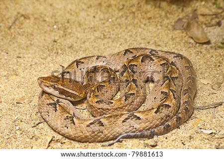 Malayan Pit Viper Snake on sand