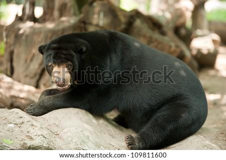malayan sun bear(helarctos malayanus) on rock