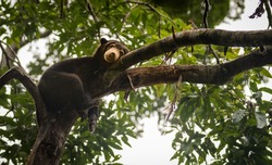 Malayan sun bear resting on a tree, with a tired and depressed look on its face. Sepilok, Borneo, Malaysia