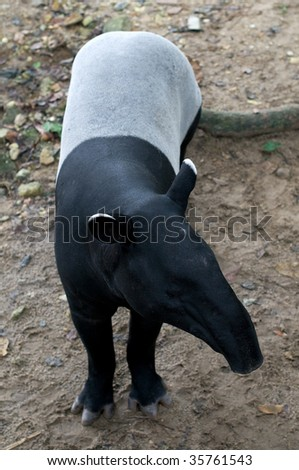 Malayan Tapir (Tapirus indicus), also called the Asian Tapir