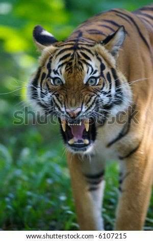 Malayan Tiger - stock photo