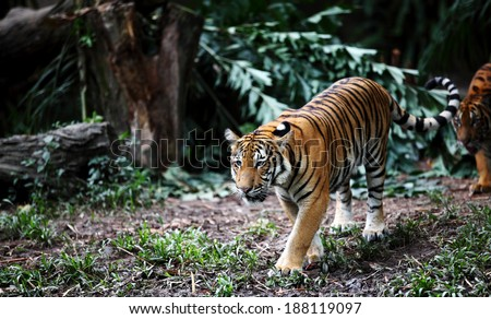 Shutterstock Malayan Tiger scientifically known as Panthera Tigris Jacksoni, roaming in a wild jungle environment.