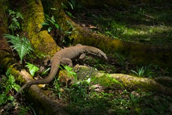 Malayan Water Monitor Lizard Foraging for food next to a large tree in Bukit Batok Nature Park, Singapore