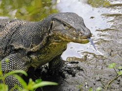 Malayan Water Monitor Lizard, Varanus salvator, Sungei Buloh Wetland Reserve, Singapore, March 2019