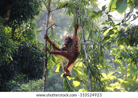 Malaysia borneo rainforest orangutan hanging on tree