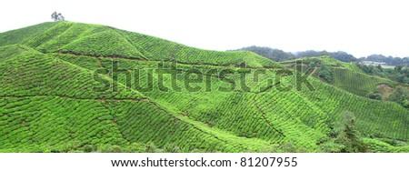 malaysia tea farm and tourist destination