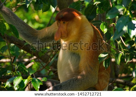 Malaysia. The long-nosed monkey or kahau — a species of primates from the subfamily of thin-bodied monkeys in the family of monkeys. Distributed exclusively on the island of Borneo #1452712721