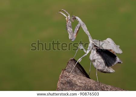Malaysian Dead Leaf Mantis (Deroplatys Lobata) showing her inner wings