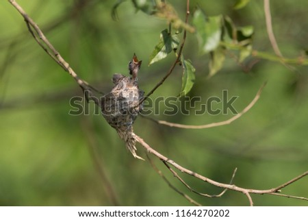 Malaysian pied fantail chicks in a nest in Kranji Marshes, Singapore #1164270202
