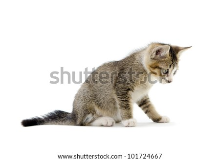 malaysian stray kitten isolated on white