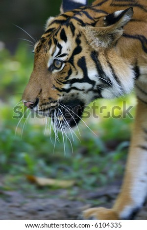 Malaysian Tiger - stock photo