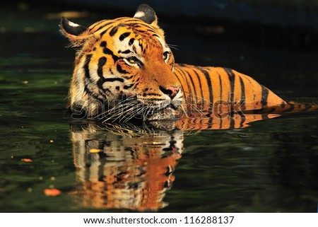 Malaysian Tiger take a morning deep at National Zoo, Kuala Lumpur, Malaysia