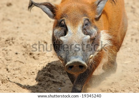 male a wild pig protects the harem from another's intrusion