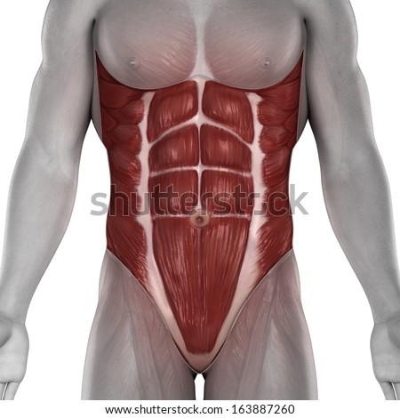 Anatomy Abdomen Male Abdomen Muscles Anatomy