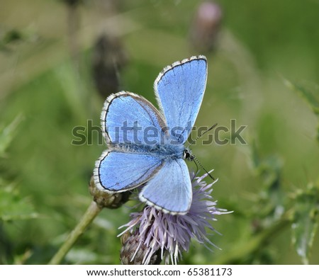Male Adonis Blue Butterfly - Lysandra bellargus