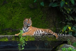 Male adult Bengal tiger resting in a park with green moss background