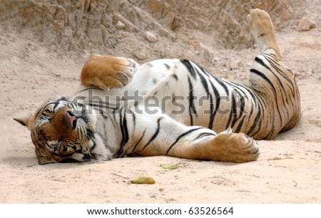 male adult bengal tiger sleeping on ground, thailand, asia , big striped pussycat panthera tigris.  furry sleeping pussy feline carnivore hunter tiger temple near burma