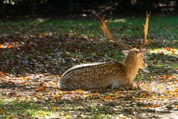 Male adult deer animal resting on grass in park in autumn