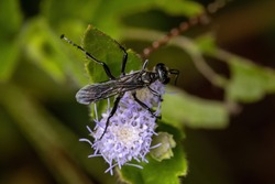 Male Adult Thread-waisted Wasps of the Genus Prionyx