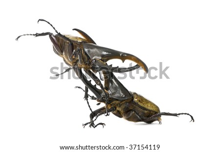 Hercules+beetle+for+sale