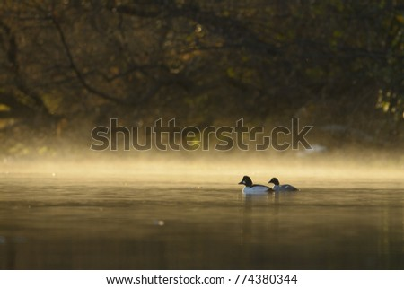 Male afn female common goldeneye swim into the fog rising from the water.