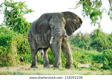 Male African elephant, Kazinga Channel (Uganda)