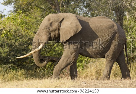 Male African Elephant (Loxodonta africana) walking in Kruger Park, South Africa