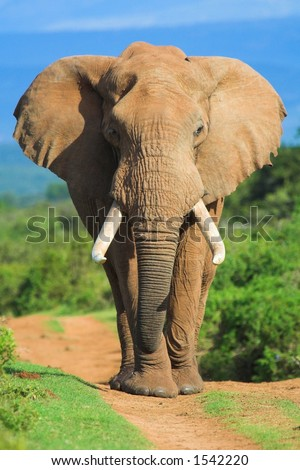 Male African Elephant portrait