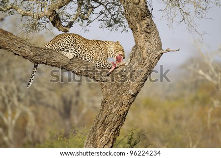 Male African Leopard (Panthera pardus) in tree eating the remains of his kill, South Africa