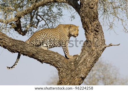 Male African Leopard (Panthera pardus) in tree, South Africa