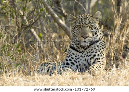 Male African Leopard resting in South Africa's Kruger Park (Panthera pardus)