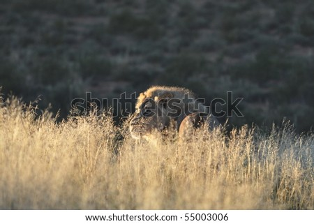 Male african lion early in the morning