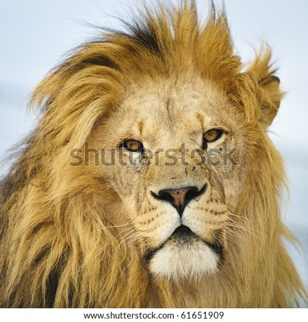 Male African Lion head and shoulders against pale blue sky