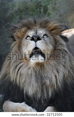 Male African Lion looking up in fear