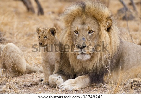 Male African Lion (Panthera leo) and cub, South Africa
