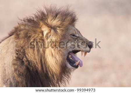 Male African Lion (Panthera leo) displaying flehmen grimace, South Africa