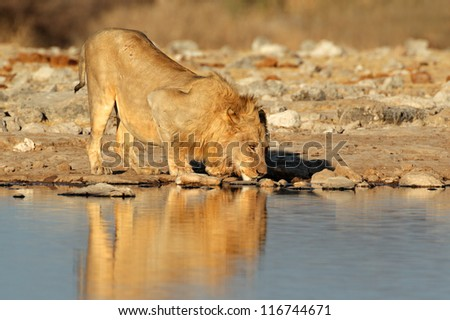Male African lion (Panthera leo) drinking water, Etosha National Park, Namibia, southern Africa