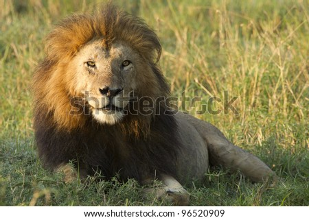 Male African Lion (Panthera leo) in Kenya's Masai Mara - stock photo