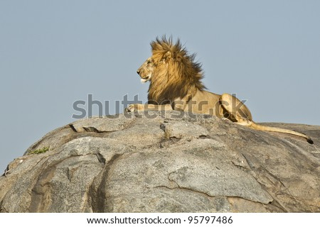 Male African Lion (Panthera leo) on top of a rock in Tanzania's Serengeti National Park