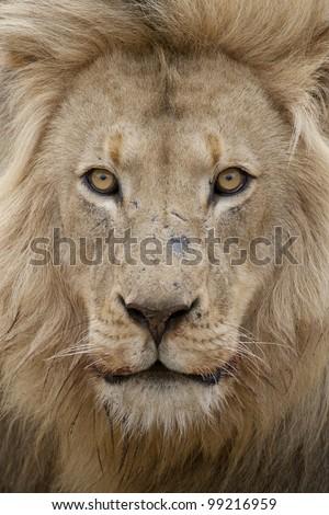 Male African Lion (Panthera leo) portrait