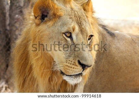 Male African Lion (Panthera leo) portrait