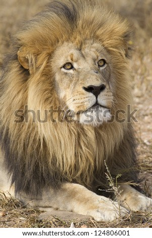Male African Lion (Panthera leo) portrait, South Africa - stock photo