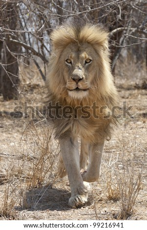 Male African Lion (Panthera leo) running