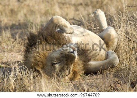 Male African Lion (Panthera leo) sleeping on his back, South Africa