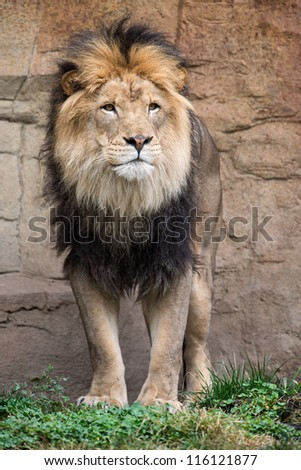 Male African lion (Panthera leo) standing - stock photo