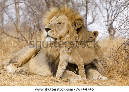 Male African Lion (Panthera leo) with cubs, South Africa - stock photo