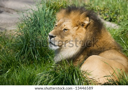 Male African lion resting in green grass